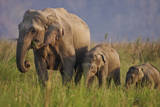 Indian Asian Elephant, Mother and Calves, Corbett National Park, India Photographic Print by Jagdeep Rajput