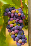 USA, Washington, Okanogan Valley. Pinot Grapes in Veraison in Vineyard Photographic Print by Richard Duval