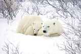 Polar Bears, Female and Cub, Churchill Wildlife Area, Manitoba, Canada Lámina fotográfica por Richard ans Susan Day