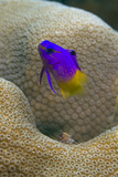 Fairy Basslet over Coral Head. Bonaire, Netherlands Antilles Photographic Print by Barry Brown