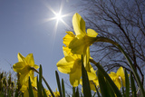 Daffodils, Spring, Freeport, Maine Photographic Print by Rob Sheppard