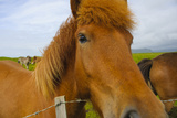 Iceland. Dyrholaey. Friendly Icelandic Horse on a Farm Photographic Print by Inger Hogstrom