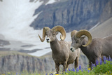 Big Horn Rams in the Wildflowers, Mount Timpanogos, Utah Photographic Print by Howie Garber