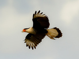 USA, Texas, Mission, Martin's Javelina Northern Caracara Flying Photographic Print by Bernard Friel