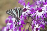 Zebra Swallowtail on Cineraria, Holmes Co. Ms Reproduction photographique par Richard ans Susan Day