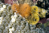 Curacao, Netherlands Antilles. Colorful Christmas Tree Worms Photographic Print by Barry Brown