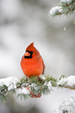 Northern Cardinal on Blue Atlas Cedar in Winter, Marion, Illinois, Usa Photographic Print by Richard ans Susan Day