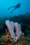 Azure Vase Sponge. Curacao, Netherlands Antilles Photographic Print by Barry Brown