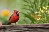 Northern Cardinal Male on Fence, Marion, Illinois, Usa Photographic Print by Richard ans Susan Day