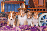 Shetland Sheepdog Puppies Sitting by Small Wooden Wagon Photographic Print by Zandria Muench Beraldo