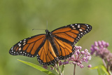 Monarch Butterfly Male on Swamp Milkweed Marion Co., Il Reproduction photographique par Richard ans Susan Day