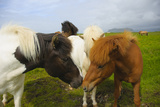 Iceland. Dyrholaey. Icelandic Horses on a Farm Photographic Print by Inger Hogstrom