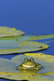 Edible Frog in the Danube Delta Sitting on Leaf of Water Lily, Romania Photographic Print by Martin Zwick