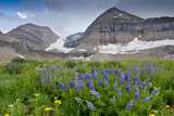 Lupine, Lupinus, Mount Timpanogos. Uinta-Wasatch-Cache Nf Photographic Print by Howie Garber