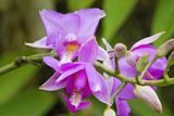 Wild Orchid, Cloud Forest, Upper Madre De Dios River, Peru Photographic Print by Howie Garber