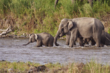 Indian Asian Elephants, Crossing the River Ramganga, Corbett NP, India Photographic Print by Jagdeep Rajput
