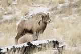 Big Horn Ram, North Fork Shoshone River, Near Cody, WYoming Papier Photo par Howie Garber