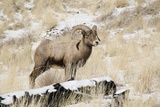 Big Horn Ram, North Fork Shoshone River, Near Cody, WYoming Photographic Print by Howie Garber