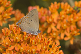 Coral Hairstreak on Butterfly Milkweed, Marion Co. Il Reproduction photographique par Richard ans Susan Day
