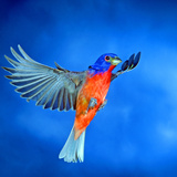 North America, USA, Florida, Immokalee, Male Painted Bunting Flying Photographic Print by Bernard Friel