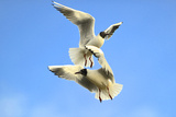 Black Headed Gulls in Flight over the Thames Photographic Print by Richard Wright
