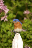 Eastern Bluebird on Picket Fence, Marion, Illinois, Usa Photographie par Richard ans Susan Day
