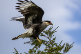 Flying Southern Crested Caracara. Torres Del Paine NP. Chile Photographic Print by Tom Norring