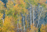 Fall Snowstorm, Aspen Trees, Grand Teton National Park Photographic Print by Howie Garber