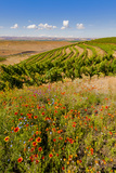 USA, Washington, Walla Walla.Wildflowers in a Vineyard in Wine Country Photographic Print by Richard Duval