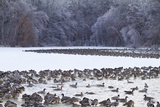 Canada Geese Flock on Frozen Lake, Marion, Illinois, Usa Photographic Print by Richard ans Susan Day