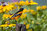 Baltimore Oriole on Post with Black-Eyed Susans, Marion, Illinois, Usa Photographic Print by Richard ans Susan Day