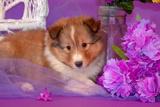 Shetland Sheepdog Puppy Lying in Purple Photographic Print by Zandria Muench Beraldo
