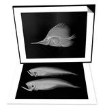 Longnose Butterflyfish & Bothid Flatfish Set Art by Sandra J. Raredon