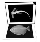 Winghead Shark & Pacu Set Art by Sandra J. Raredon