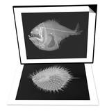 Tropical Hatchetfish & Long-Spine Porcupinefish Set Posters by Sandra J. Raredon