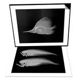 Longnose Butterflyfish & Bothid Flatfish Set Prints by Sandra J. Raredon