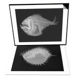 Tropical Hatchetfish & Long-Spine Porcupinefish Set Poster by Sandra J. Raredon