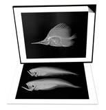 Longnose Butterflyfish & Bothid Flatfish Set Posters by Sandra J. Raredon