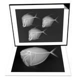 Lookdown & Moonfish Set Prints by Sandra J. Raredon