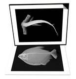 Winghead Shark & Pacu Set Prints by Sandra J. Raredon