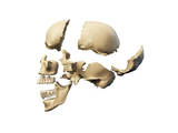 Side View of Human Skull with Parts Exploded Art