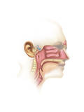 Anatomy of Inner Ear and Sinuses Posters