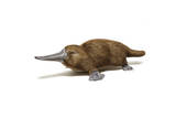 Duck-Billed Platypus on White Background Prints