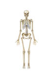 Human Skeletal System, Front View Art