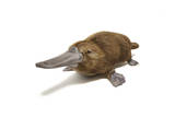 Duck-Billed Platypus on White Background Print