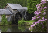 Rhododendron blossoming at Mabry Mill, Blue Ridge Parkway, Virginia Stretched Canvas Print by Tim Fitzharris