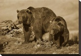 Grizzly Bear mother with a one year old cub, North America Stretched Canvas Print by Tim Fitzharris