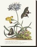 Polianthius, Oxalis and Iris Stretched Canvas Print by Georg Dionysius Ehret
