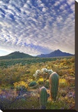 Saguaro and Teddybear Cholla amid flowering Lupine and California Brittlebush Stretched Canvas Print by Tim Fitzharris