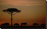 Blue Wildebeest herd migrating at sunset, Kenya Stretched Canvas Print by Tim Fitzharris
